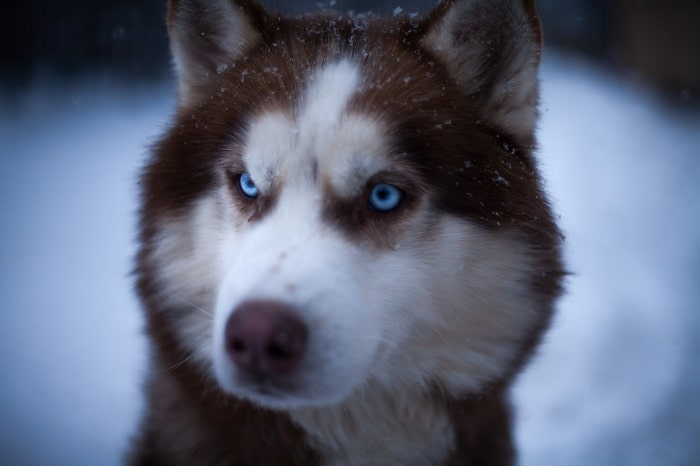 Mũi của chó Husky