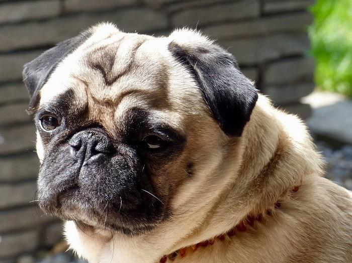 Nắm được giá chó Pug mặt xệ