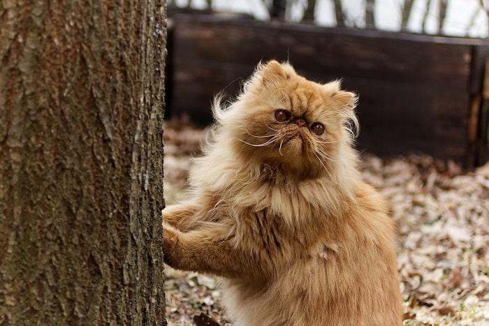 Nguồn Gốc Xuất Xứ Mèo Ba Tư