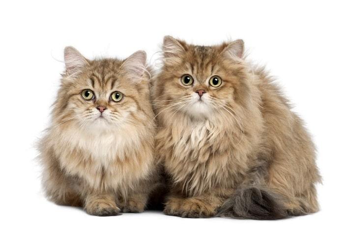 Nhận Biết Bệnh Của Mèo Anh Lông Dài Qua Lông