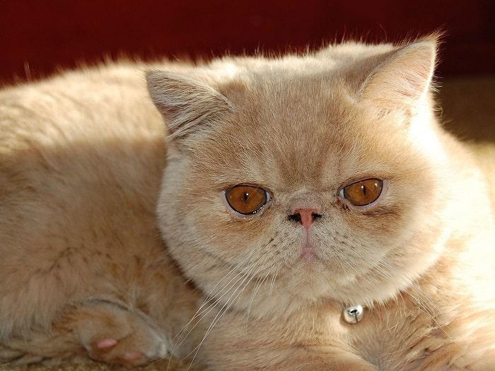 Nhận Diện Bộ Lông Mèo Ba Tư