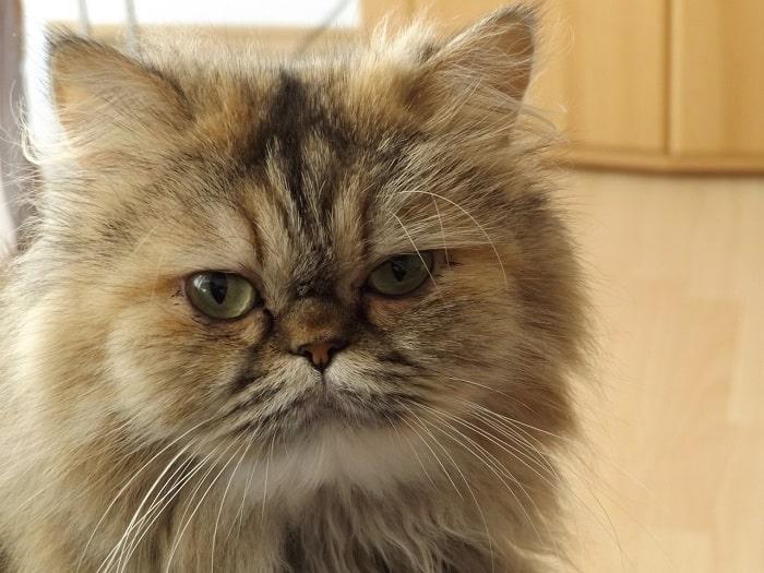 Nhận Diện Môi Mèo Ba Tư