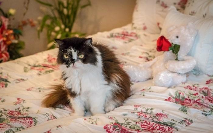 Nhận Diện Ngoại Hình Đầu Mắt Tai Mèo Ba Tư