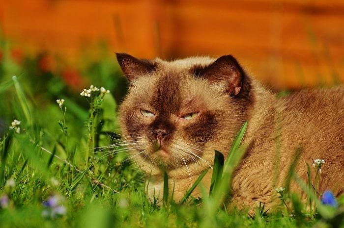 Những Điều Cần Lưu Ý Khi Nuôi Mèo Anh Lông Ngắn