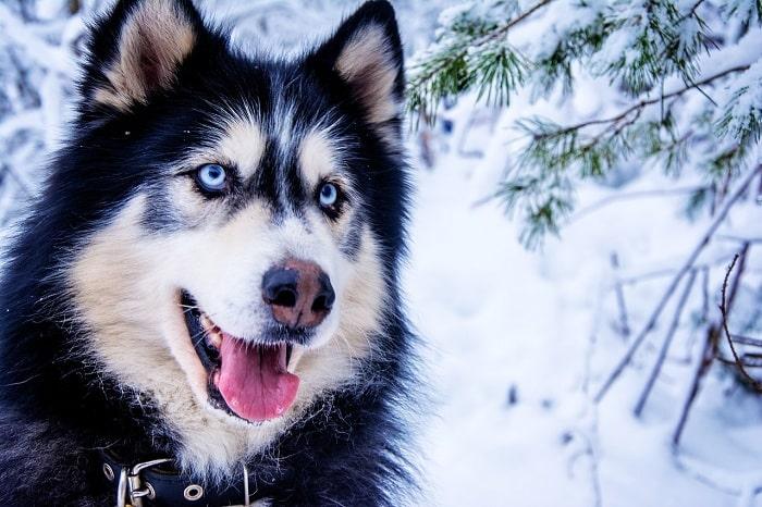 Những Đồ Dùng Cần Trang Bị Khi Nuôi Chó Husky