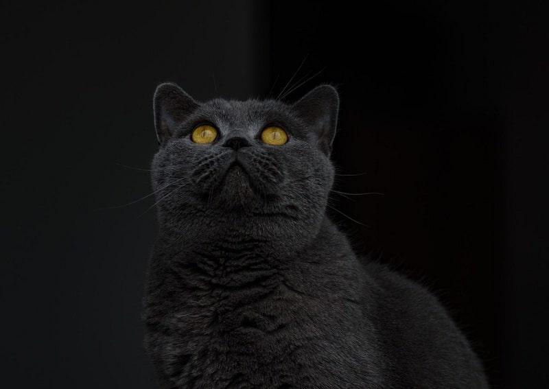 Chăm Sóc Mèo Anh Lông Ngắn