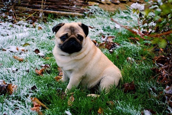 Quan sát tính cách của chú chó Pug