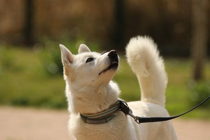 Rọ mõm chó husky