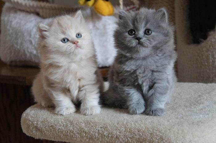 Tập Vận Động Thể Dục Cho Mèo Anh Lông Dài