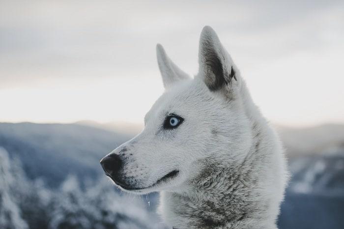 Tính Cách Của Chó Husky