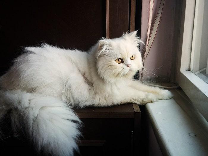 Tính Cách Của Mèo Ba Tư
