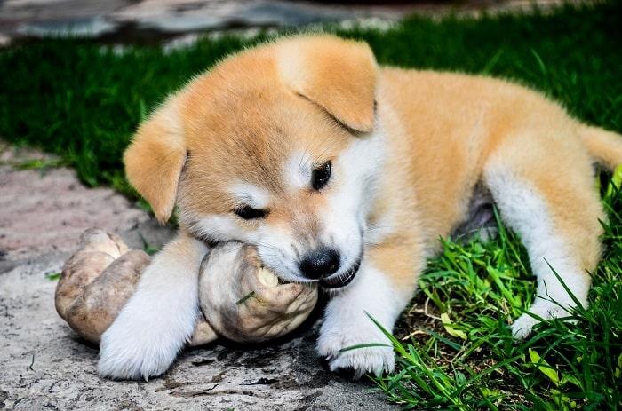 Yếu Tố Chọn Chó Akita Qua Màu Lông