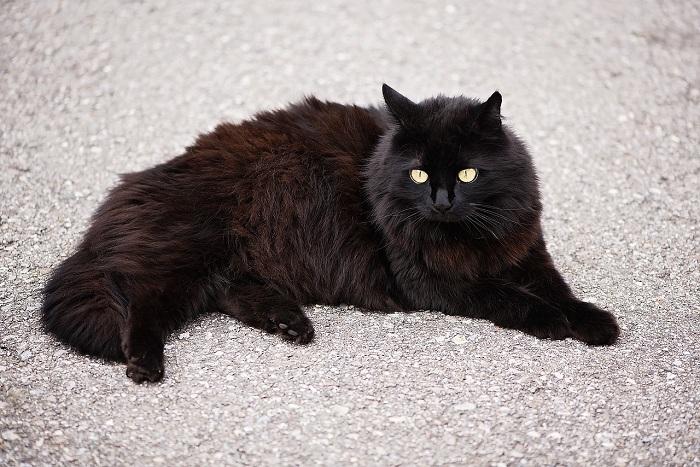 Chăm Sóc Mèo Angora