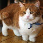 Chăm Sóc Mèo Munchkin