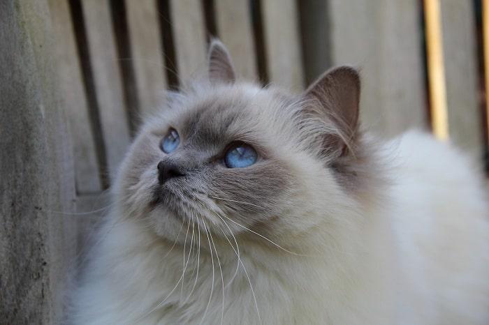 Chăm Sóc Nuôi Mèo Ragdoll