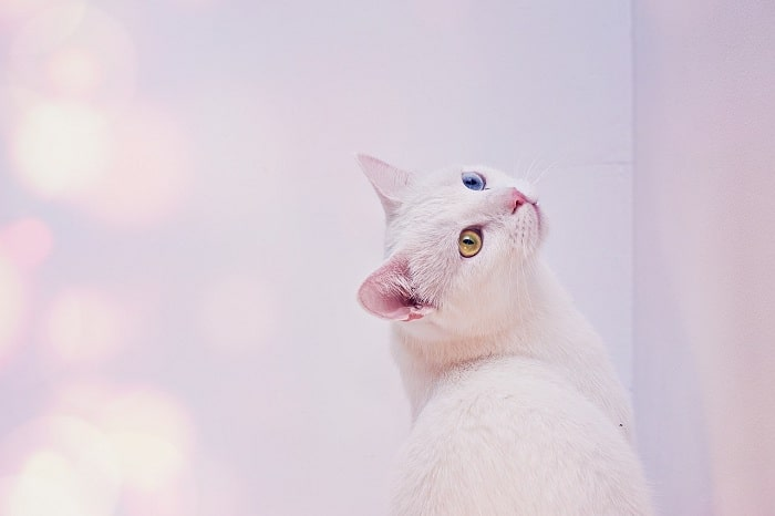 Giá Mèo Angora