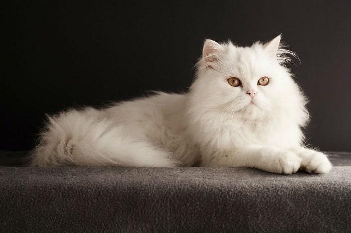 Mua Mèo Ba Tư