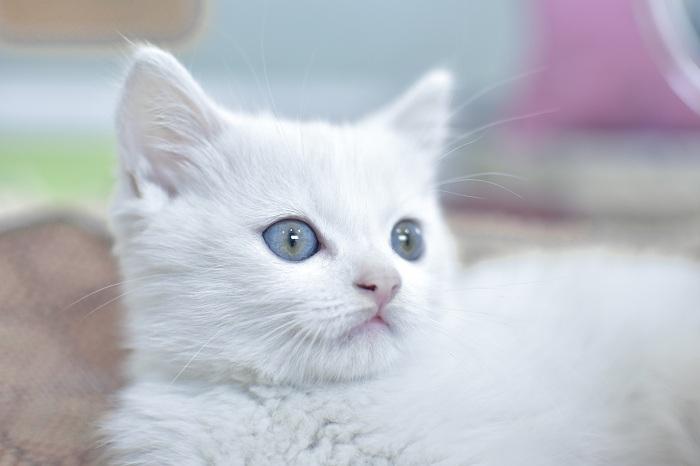 cham soc suc khỏe mèo angora
