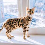 Chăm Sóc Mèo Bengal
