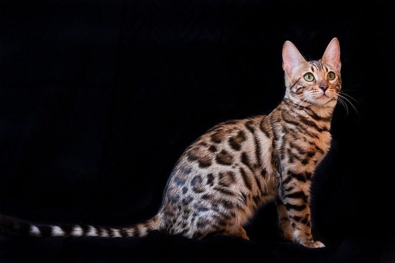 Giá Mèo Bengal