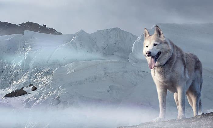 cho husky Siberia