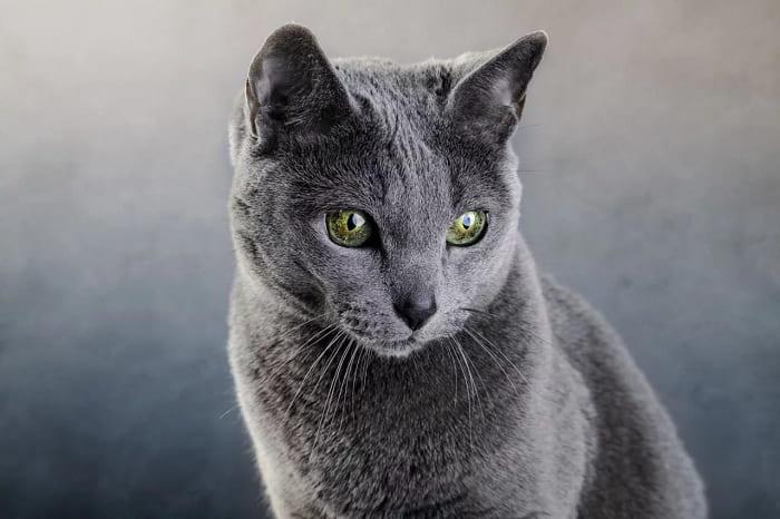 giá Mèo Nga Mắt Xanh