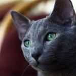 Mèo Nga Mắt Xanh Russian Blue