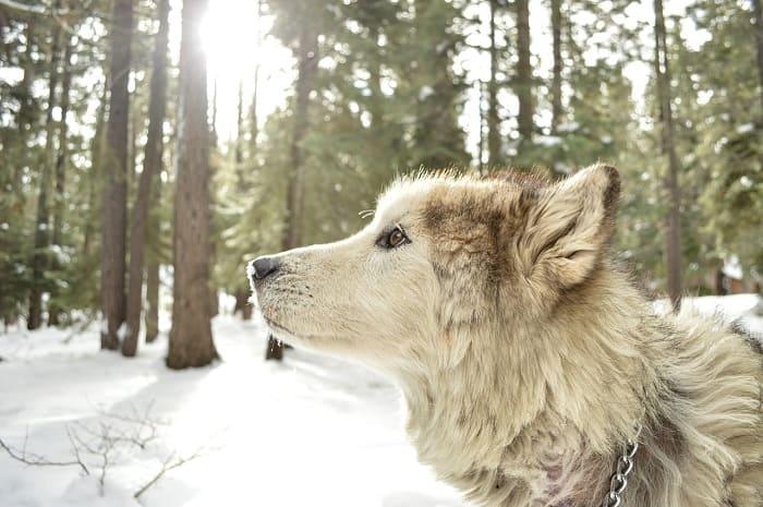 phan loai cho alaska