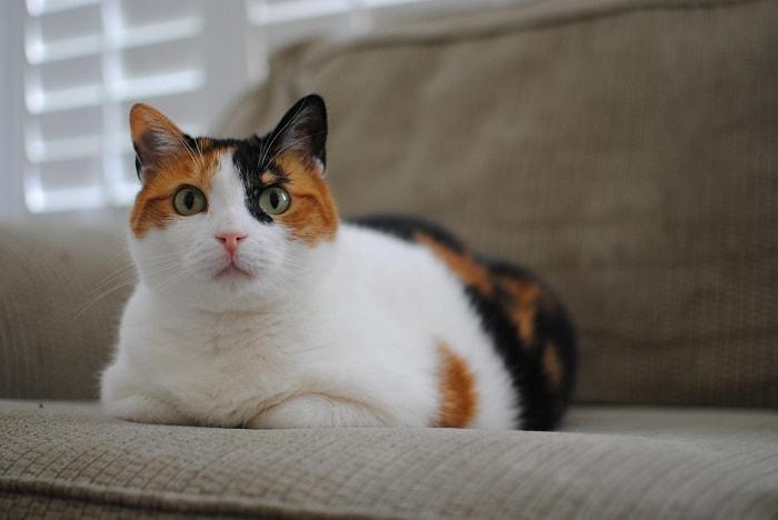 cách giữ sức khỏe cho mèo tam thể