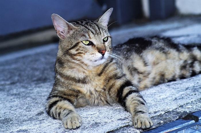 chăm sóc mèo tam thể