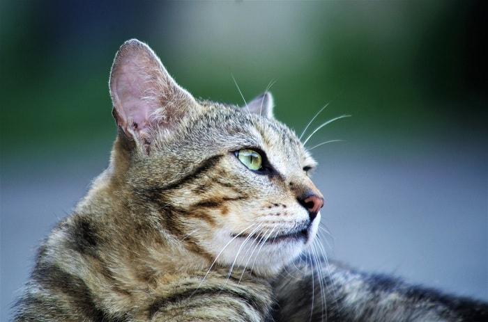 hướng dẫn cho mèo tam thể ăn