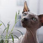 cách chăm sóc mèo ai cập
