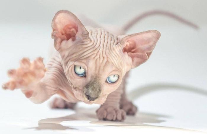 giá mèo ai cập tại việt nam