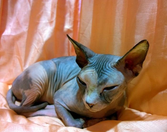 Mèo Ai Cập Sphynx