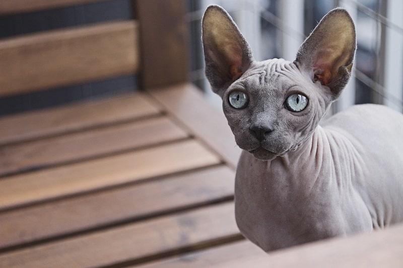 mèo ai cập