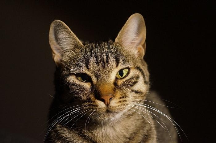 cách chăm sóc để tăng tuổi thọ cho mèo