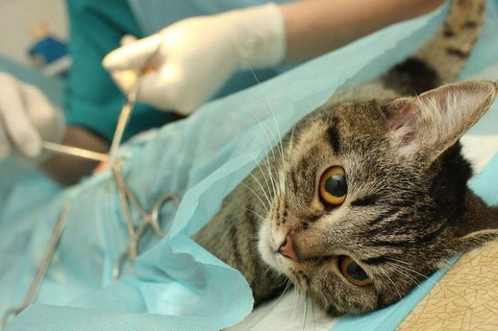 chăm sóc mèo sau triệt sản