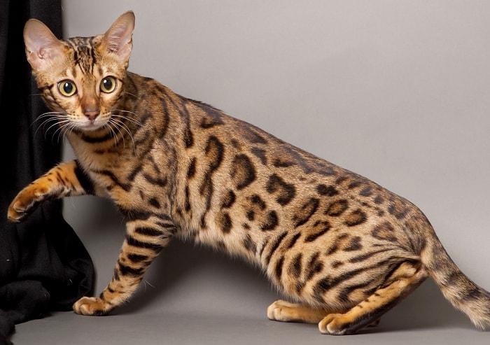 giá Mèo Ashera