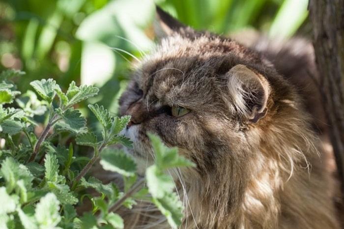 luu ý khi sử dụng cỏ bạc hà mèo