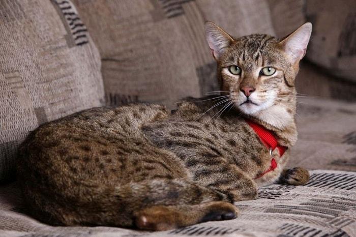 thường xuyên đưa mèo Asherađi khám