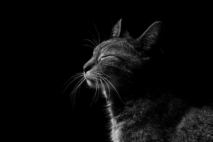 tuổi thọ của mèo