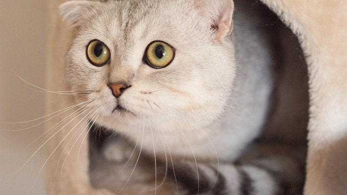 giá bán mèo scottish bao nhiêu