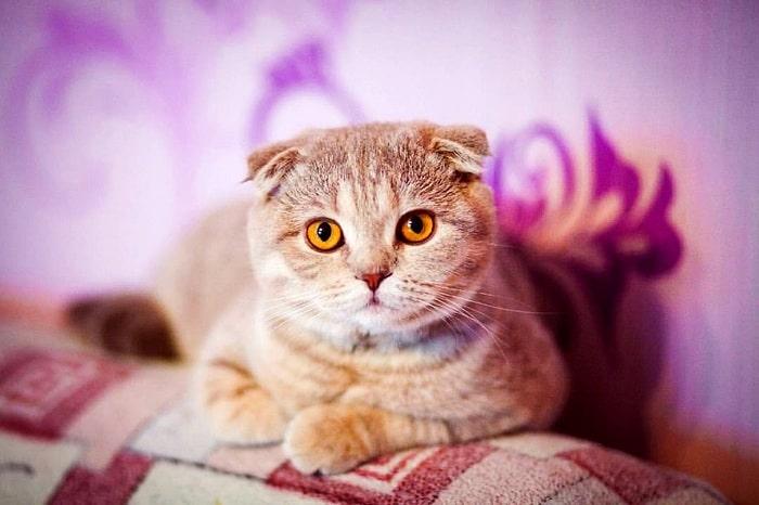giá mèo scottish