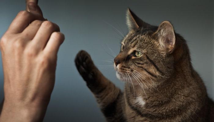 huấn luyện mèo