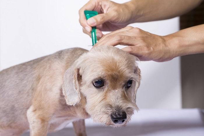 cách điều trị chó bị viêm da