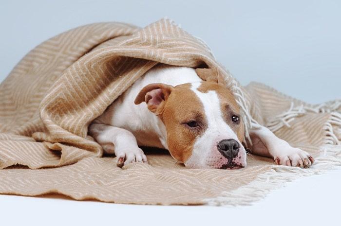 cách chăm sóc chó bị sốt