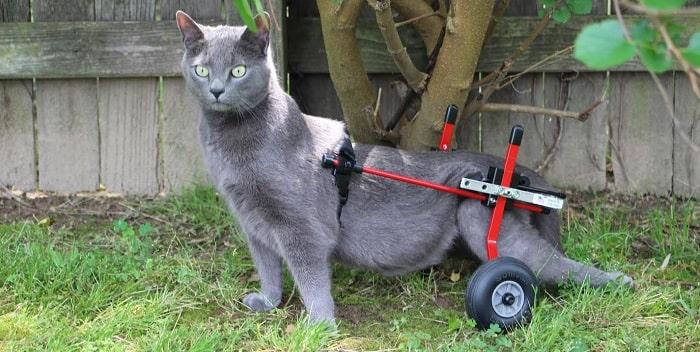 chăm sóc mèo bị liệt