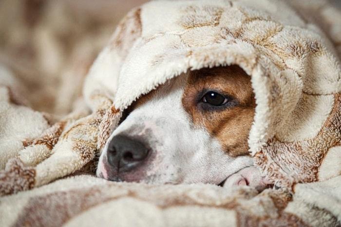 chó bị sốt