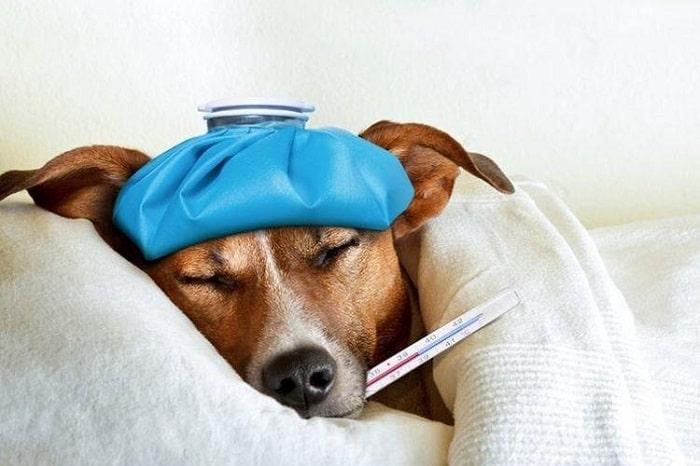chữa trị chó bị nôn