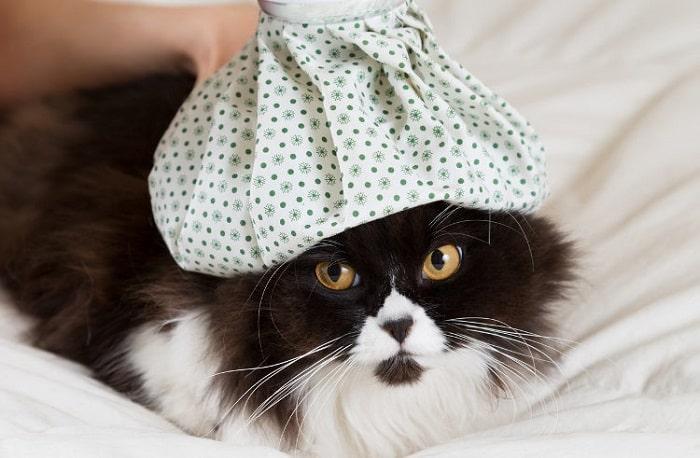 chữa trị Mèo Bị Cảm Lạnh